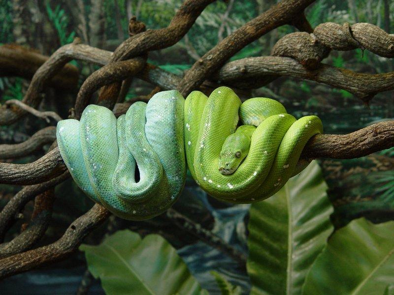 Snakes, Australia
