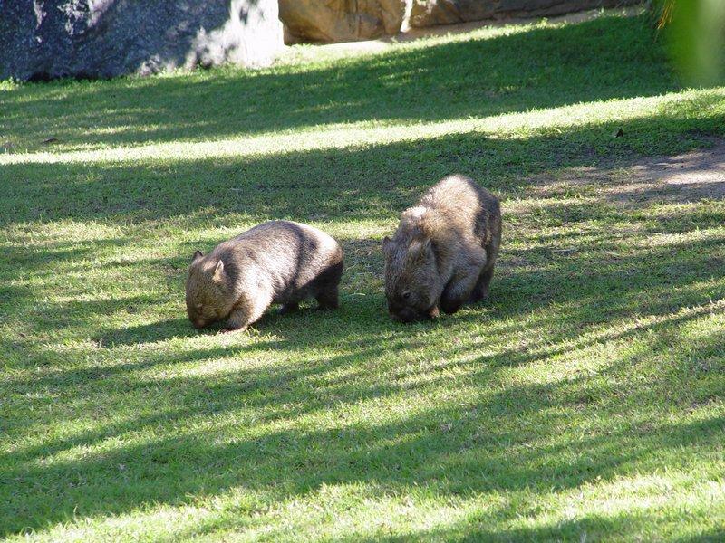 Wombats, Australia